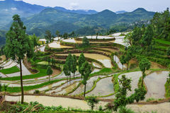 Rice fields on terraced in surice Stock Photos
