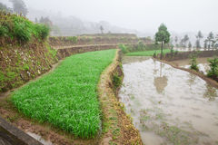 Rice fields on terraced in surice Royalty Free Stock Image
