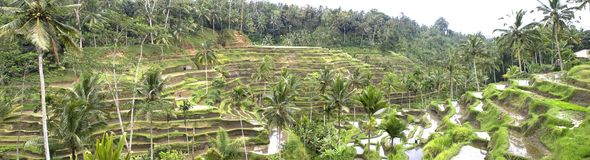 Rice fields on terraces, Indonesia Royalty Free Stock Image