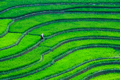 Rice fields on terraces at planting in Vietnam.