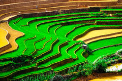 Rice fields on terraces at planting in Vietnam. Royalty Free Stock Images