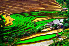 Rice fields on terraces at planting in Vietnam. Stock Photos