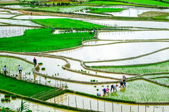 Rice fields on terraces at planting in Vietnam. Royalty Free Stock Photography