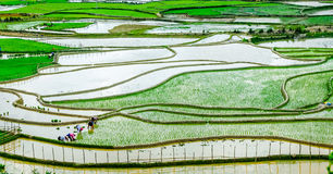 Rice fields on terraces at planting in Vietnam. Stock Image