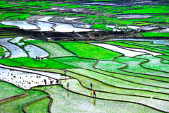 Rice fields on terraces at planting in Vietnam. Royalty Free Stock Image