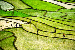 Rice fields on terraces at planting in Vietnam. Royalty Free Stock Photo