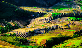 Rice fields on terraces at planting in Vietnam. Stock Images