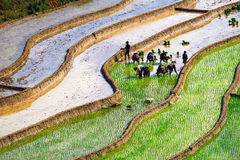 Rice fields on terraces at planting in Vietnam. Stock Photo