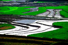 Rice fields on terraces at planting in Vietnam. Royalty Free Stock Photos