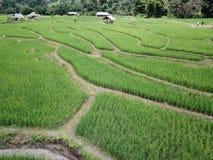 Rice fields Thailand. Rice fields Thailand stock photo
