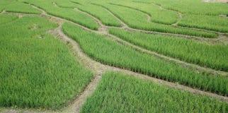 Rice fields Thailand. Rice fields Thailand stock image