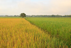 The rice fields in Thailand. Royalty Free Stock Photos