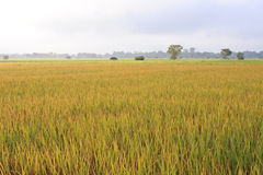 The rice fields in Thailand Stock Photography