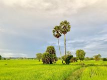 Rice fields in Thailand, palm trees, fertile mountains. (Landscape) royalty free stock photography
