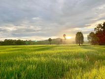 Rice fields in Thailand, palm trees, fertile mountains. (Landscape) stock images