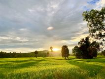 Rice fields in Thailand, palm trees, fertile mountains. (Landscape) stock photography