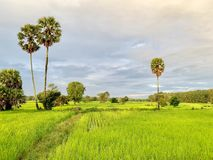 Rice fields in Thailand, palm trees, fertile mountains. (Landscape) stock image