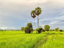 Rice fields in Thailand, palm trees, fertile mountains. (Landscape) royalty free stock photos