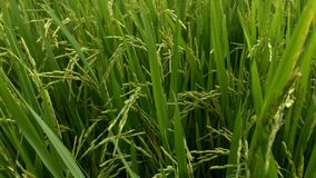 Grains of rice tilt in the breeze in the field stock video