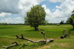 Rice fields and trees Stock Image