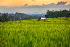 Rice fields and trees on the horizon at sunset, Bali Stock Images