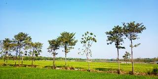 Ketapang tree on the edge of the rice fields stock photo
