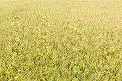 Rice fields in the tropics Stock Image