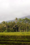 Rice Fields. In the tropics - Indonesia Royalty Free Stock Photo
