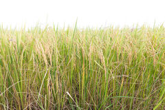 Rice fields in the tropics on white Stock Photo