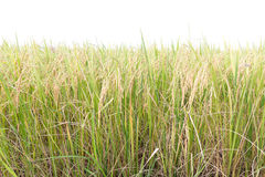 Rice fields in the tropics on white Royalty Free Stock Photo