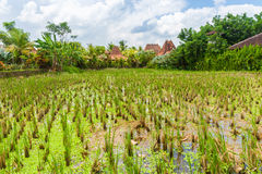 Rice fields in Ubud, Bali, Indonesia. Royalty Free Stock Photography
