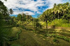 Rice fields in Ubud, Bali, Indonesia. Green terrace rice fields in Ubud, Bali, Indonesia Royalty Free Stock Photography