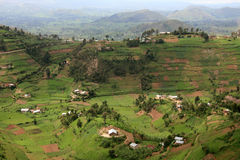 Rice Fields in Uganda, Africa Royalty Free Stock Photography