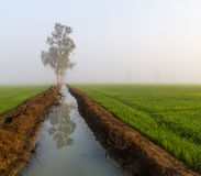 Rice fields under the fog Stock Images
