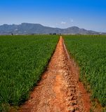 Rice fields in Valencia at Corbera mountains of Spain royalty free stock images