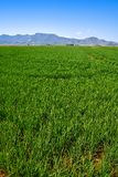 Rice fields in Valencia at Corbera mountains of Spain stock images