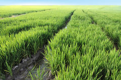 Rice fields,Valencia,Spain. Rice fields,Albufera nature reserve,Valencia,Spain stock photography