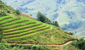 Rice fields in Vietnam Stock Image