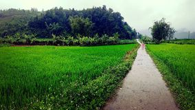 Rice fields in Vietnam royalty free stock photography