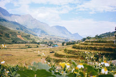 Rice fields in Vietnam royalty free stock image