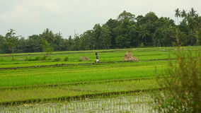 Among the rice fields view. Editorial Stock Photo