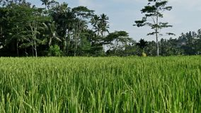 Rice Fields View Indonesia Asia Bali 4k stock video footage