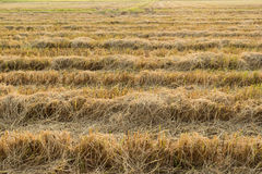 Rice fields were burned Stock Photography