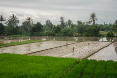 Rice fields. Where rice is grown in the traditional way, Sukabumi, West Java Royalty Free Stock Photography
