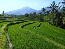 Rice fields withon Bali - Asia royalty free stock photos