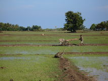 Rice Fields at work. Local Timorese Man working in the Rice fields stock image
