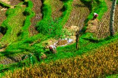 Rice fields workers Stock Images