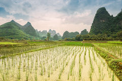 Rice fields Yangshuo Royalty Free Stock Images
