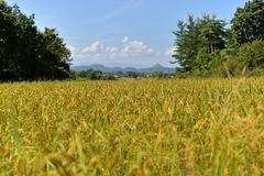 Rice fields Yellow Royalty Free Stock Photography