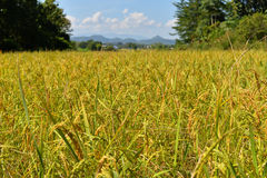 Rice fields Yellow Stock Photo